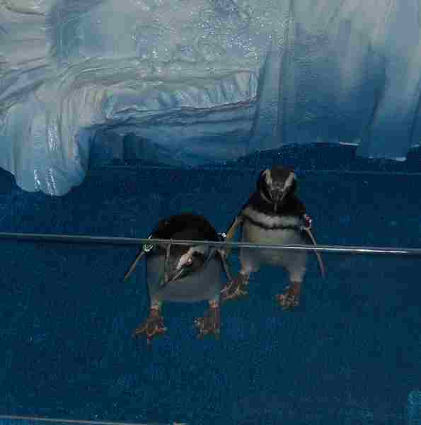 penguins at CHILL