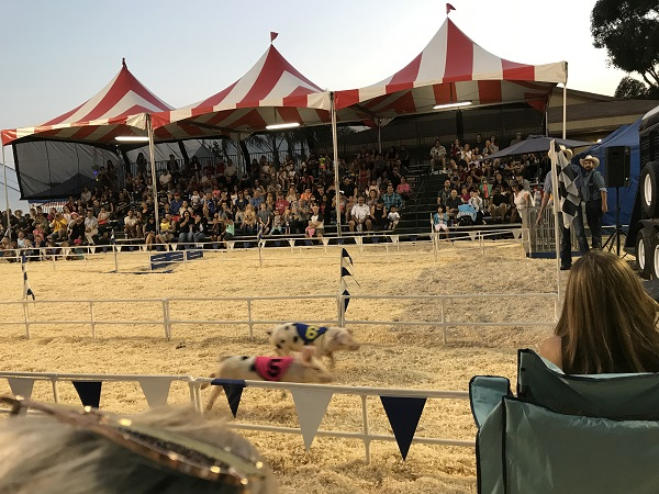 pig races at OC Fair