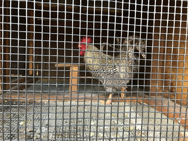 Speckled rooster at the OC Fair