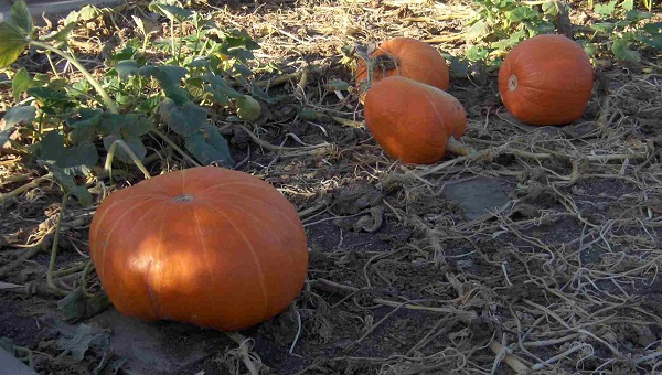 Ripe pumpkins in a field