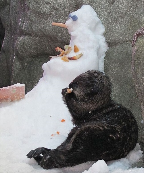 Otter enjoys a Christmas treat next to a snoawman