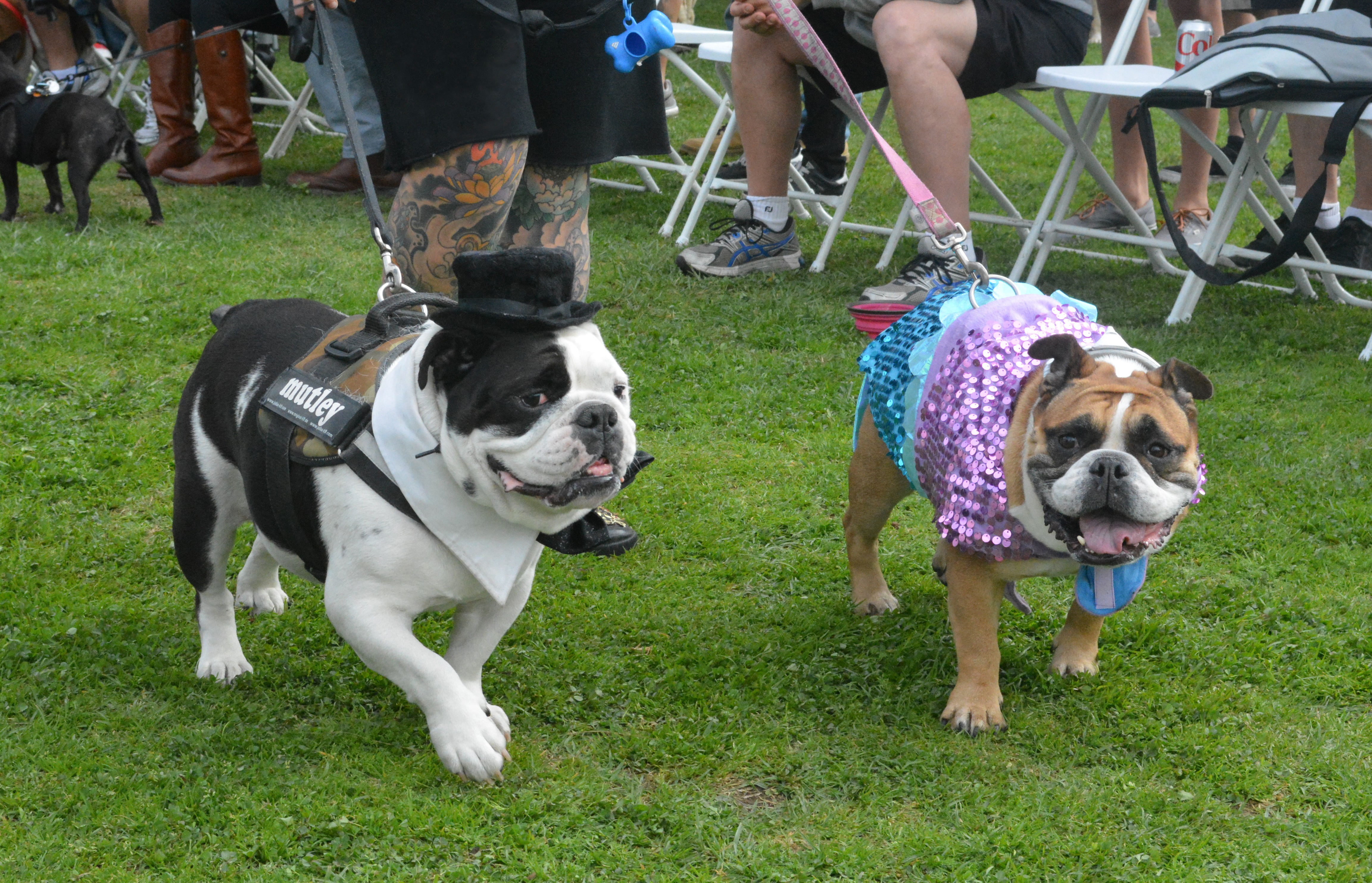 bulldogs dress in a top hat and a spangly costume on leashes, walking on the grass