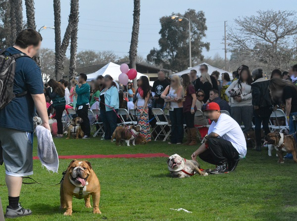 two competitors with bulldogs on leashes in grassy park area with tents in background