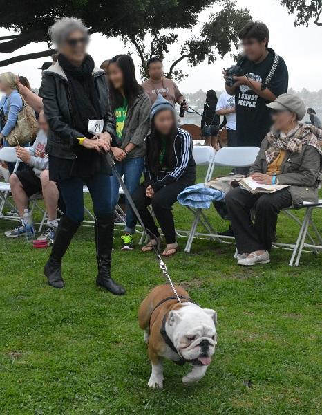 Brown and white bulldog pulls on leash as a smiling woman walks him past contest judges